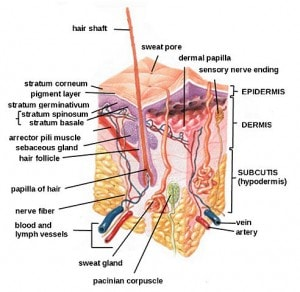 Human Skin - Integumentary System