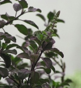 holy basil is one of the effective mouth ulcer remedies
