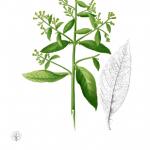 Blumea balsamifera for kidney stones